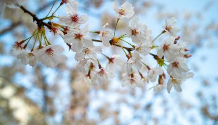 桜3月26日撮影